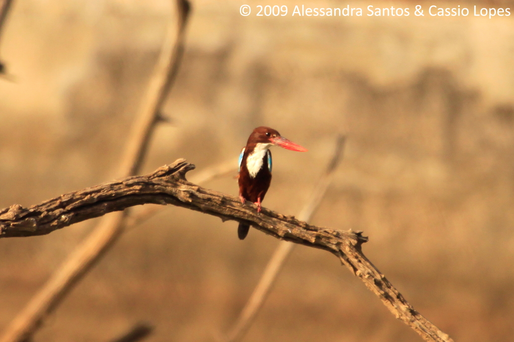 White-throated Kingfisher _MG_2710_F