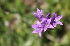 Campanula (Christophe Ramonet) Tags: france flora burgundy campanulaceae campanula bourgogne flore campanule saoneetloire