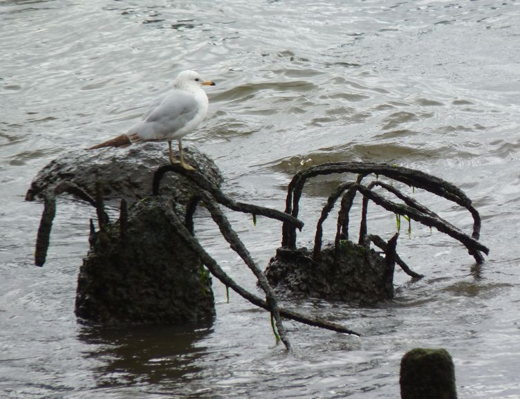 East River Sea Gull 2