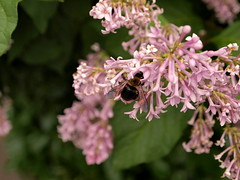 Bumblebee on flowers. E-PL1 test shot