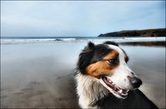.. (Trees n stuff) Tags: beach collie bradley xman abermawr floppyboot