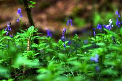 Bluebells (Chris McLoughlin) Tags: england flower nature bluebells sony yorkshire fairburnings sal100m28 sonyalphaa300 chrismcloughlin sony100mm