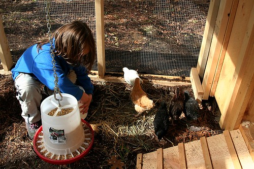 feeding chickens