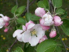 AppleBlossoms_51111f
