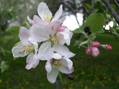 AppleBlossoms_51111e