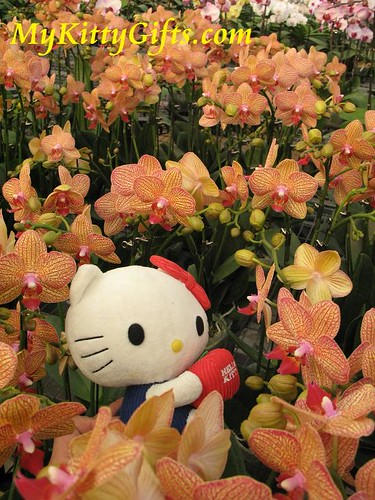Hello Kitty's View of Orange Orchids in Hong Kong Orchid Trip