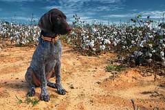 The Fabric Of My Life (MilkaWay) Tags: puppy birddog drought tessa gsp cottonfield oconeecounty germanshorthairedpointer 14weeksold deutschkurzhaar ruralgeorgia