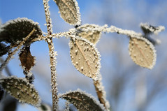 galaverna (minded) Tags: winter italy cold ice gelo pentax neve piante inverno freddo mauro k20 gennaio giardino cotoneaster ghiaccio lodi minded galaverna cervignano santella