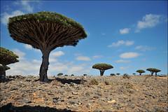 Dixam, Socotra, Yemen (red_ink) Tags: flora yemen dragonblood socotra soqotra dixam