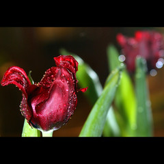 Thank you Robert... (JannaPham) Tags: red flower dedication wednesday happy droplets spring friendship bokeh fresh tulip waterdrops jannapham robertvardigan