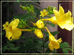 Allamanda cathartica 'Golden Butterfly' (Yellow Allamanda, Golden Trumpet) in our garden, Dec 2007