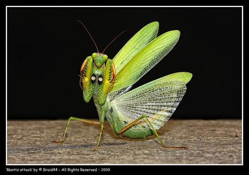 Mantis attack
