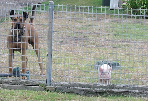 09-02-12 Dog and Pig