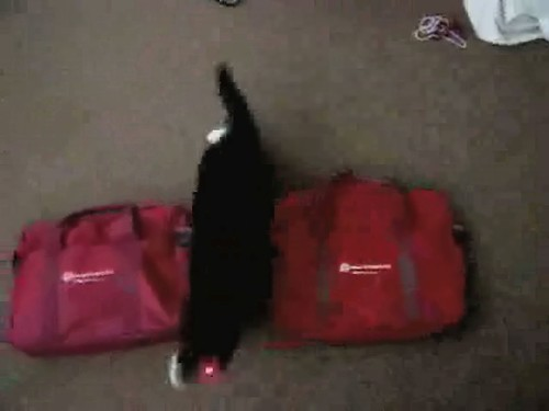 NYTelephone Laser Chasing Cats