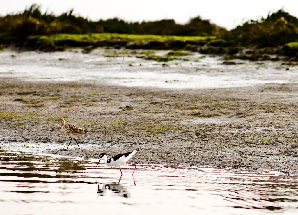 marbled godwits, black-necked stilt