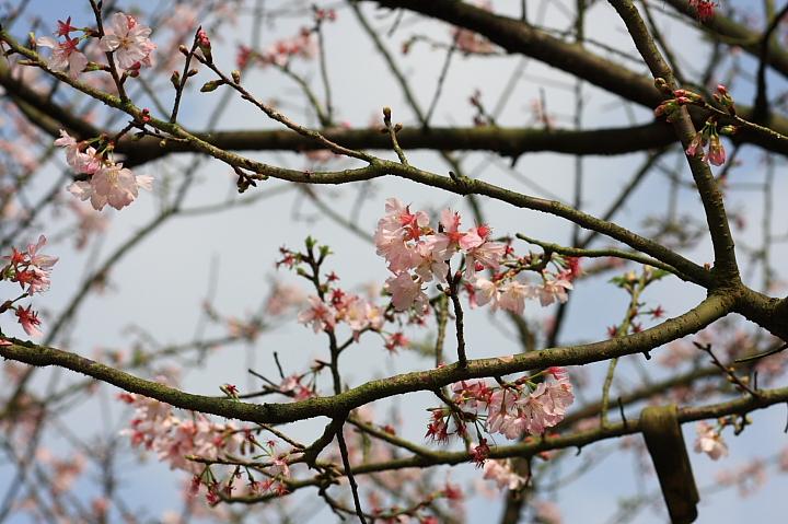 三芝櫻花14