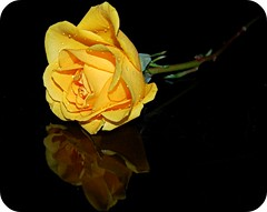 ~Happy Birthday, Michele~ (nushuz) Tags: yellowrose reflexions loveyou yousayitsyourbirthday happybirthdaytoya lizardgal happybirthdaymichele february25th reflectionsonblack thanksforbeingafriend thanksgfyourock