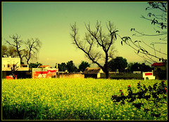 BASANT PANCHAMI (manumint-[BUSY]) Tags: nature beautiful yellow punjab mustardfield beautifulday hoshiarpur basantpanchami