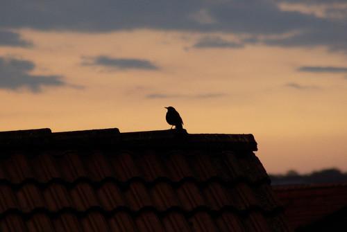 Vogel abends auf dem Dach
