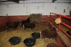DSC_0849 (incurable_hippie) Tags: cute wool animals community sheep coat sheffield straw horns curly hay breed stable soaysheep heeleycityfarm