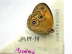 Lohora opthalmicus