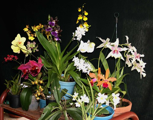 The Orchid Table April 2009