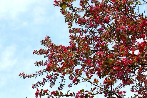 crabapple tree. its last year.