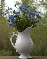 Happy Sunday: Simplicity (jacki-dee) Tags: blue stilllife flower spring bloom forgetmenot bouquet sylvatica myosotis myosotissylvatica