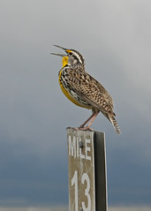 Singing A Spring Song (BigSkyKatie) Tags: wild bird yellow spring montana singing post state sweet song voice number national lucky western 13 bison range mile lark meadowlark bigskycountry naturesfinest nbr larking moiese abigfave platinumphoto avianexcellence vosplusbellesphotos