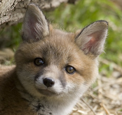 England, Surrey (richard.mcmanus.) Tags: cub fox britishwildlife naturesbest mcmanus wildlifenature 123nature natureall specanimal naturesgallery naturalexcellence naturelovely vosplusbellesphotos wildlifeshots naturegreenstar naturescreations worldanimals worldnatureclose gpsetest