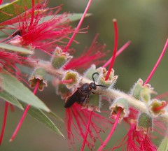 A very close look at the fuzzy secret life of a Bottlebrush Tree (jungle mama) Tags: red flower fuzzy bee bottlebrush redflower naturesfinest blueribbonwinner mywinners abigfave platinumphoto diamondclassphotographer flickrdiamond thatsclassy macrolife theperfectphotographer goldstaraward natureselegantshots multimegashot rubyphotographer fuzzyredflower 100commentgroup beautifulmonsters smallcreatureswilllovethisplace miasbest averycloselook fuzzysecretlife lirodon biscayneparkflorida bottlebrushopening rosyfilamentsunfurl bugonbottlebrush fuzzystemsandbudsofbottlebrush