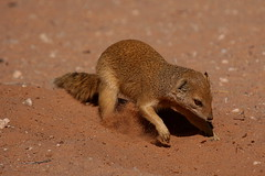 Yellow mongoose (Cynictis penicillata) (gerdavs) Tags: kalahari mongoose yellowmongoose kgalagadi kgalagadi2007 geelmuishond cynictuspencillata
