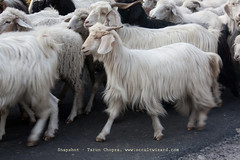 Sheeps at Harsil (Tarun Chopra) Tags: portrait india mountains nature canon photography asia wizard greatshot dslr gurgaon purchase bharat newdelhi touristattractions gangotri photograpy chamba canoncamera dhanaulti nicecomposition harsil hindustan greatcapture lowerhimalayas harshil indiaimages perfectcomposition traveltoindia superbshot superbphotography fantasticimage betterphotography discoverindia makemytrip hindusthan earthasia smartphotography flickrbestshots uthrakhand mustseeindia uterkashi discoveryindia buyimagesofindia