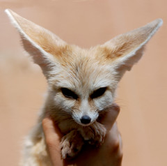 Fennec fox (floridapfe) Tags: cute animal zoo nikon fox ear everland  fennecfox d80 platinumheartaward 2voc