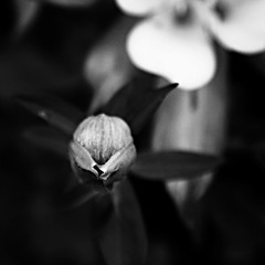 Rosaceae (Christine Lebrasseur) Tags: blackandwhite france flower macro art 6x6 nature rose canon 500x500 challengeyouwinner ltytr1 allrightsreservedchristinelebrasseur