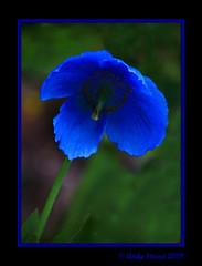 Himalayan Poppy (scrumsrus) Tags: blue sun plant flower floral garden scotland stem aberdeenshire style petal stamen vein pollen stigma huntly perennial anther leithhall himalayanpoppy meconopsisgrandis scrumsrus andystuart