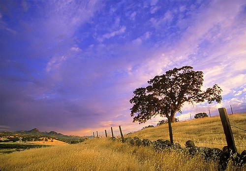 Oak tree near the Sutter Buttes