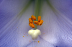 Easter Lily (BeautyInDetails) Tags: blue white plant flower yellow petals nikon lily blossom bloom easterlily flowercloseup flowermacro d70nikon silverbluelight