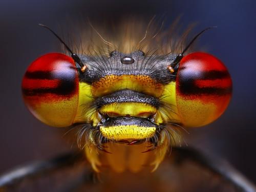 Fire eyed Damselfly (Pyrrhosoma nymphula)