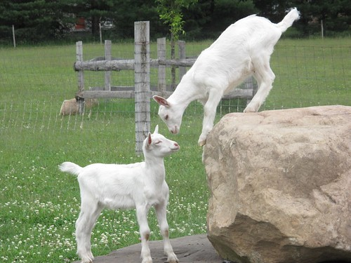 Reason #143: Baby goats are cute!