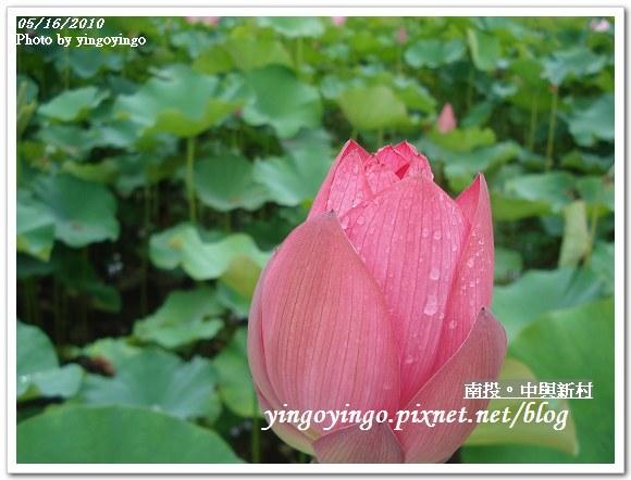 中興新村99年蓮花DSC9728