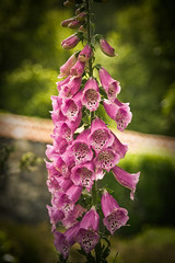 Purple Digitalis