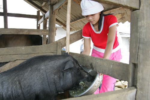 Farmer Ma Thi Puong feeds her pigs on her  farm near the northern town of Meo Vac.