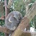 Taipei Zoo Koala