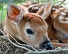 Pure Innocence (Jim McConnell) Tags: portrait baby nature closeup nikon nebraska deer fawn whitetail d90