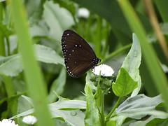 Butterfly (ddsnet) Tags: butterfly insect sony cybershot   cybershor hx100v