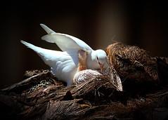 El, también cuida de ella. (jesusgag) Tags: pigeon pigeons ngc paloma npc palomas soe colombe coth flickrdiamond magicunicornverybest coth5 magicunicornmasterpiece sailsevenseas blinkagain bestofblinkwinners goldenawardlostcontperdidos flickrstruereflection1 flickrstruereflection2