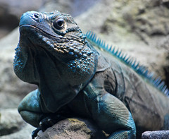 grand cayman blue iguana (S Alex Maier) Tags: blue chicago eye love smile face happy aquarium islands illinois cool eyes reptile live steve conservation happiness grand lizard smiley iguana nancy scales cuyahoga spike species grateful cayman endangered shedd gratitude spikes extinction extinct iguanas pelosi captivity scaly maier liveinthemoment blueiguana grandcaymanblueiguana thechallengefactory grandcaymanblueiguanas