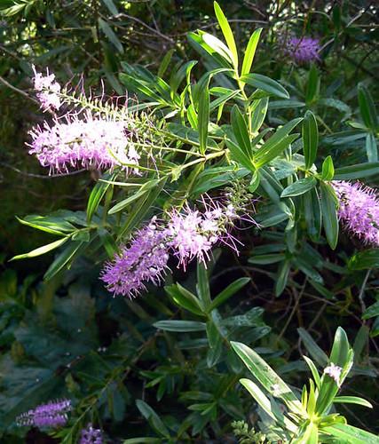 Verónica salicifolia