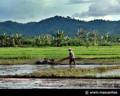 farming (erwinmascarias) Tags: farmer ricefields ampayon butuancity caragaregion